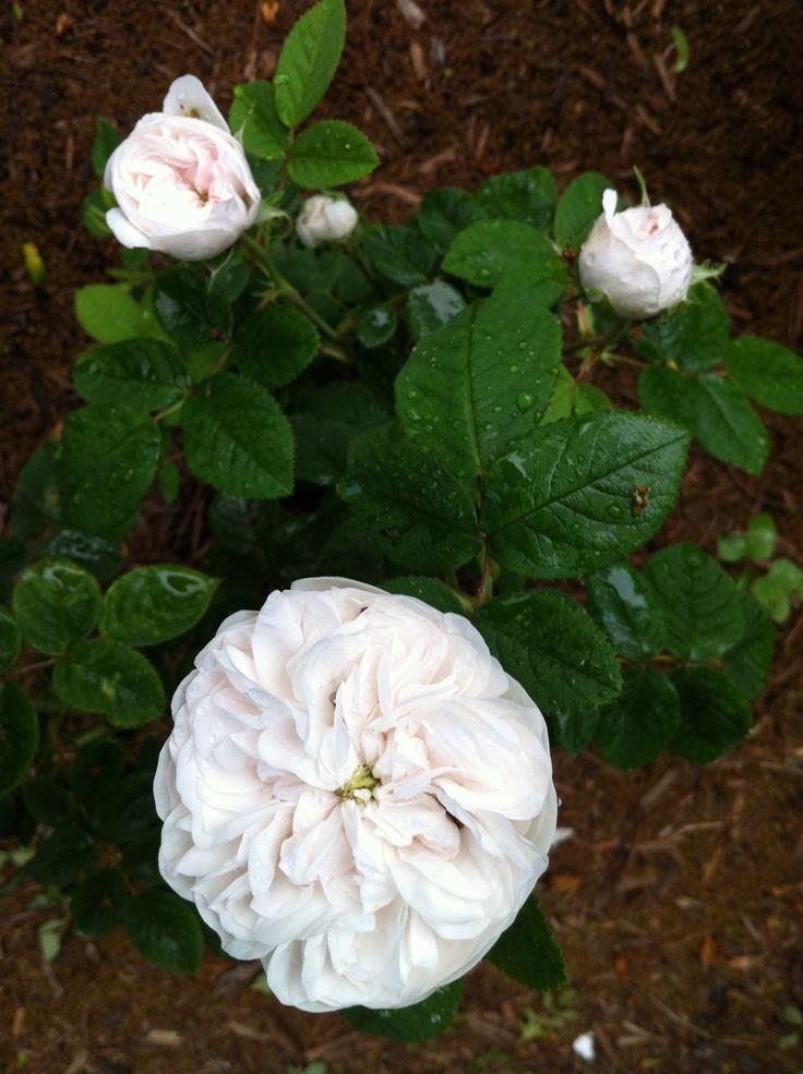 Madam HardyGardens Rose, Fashion Rose
