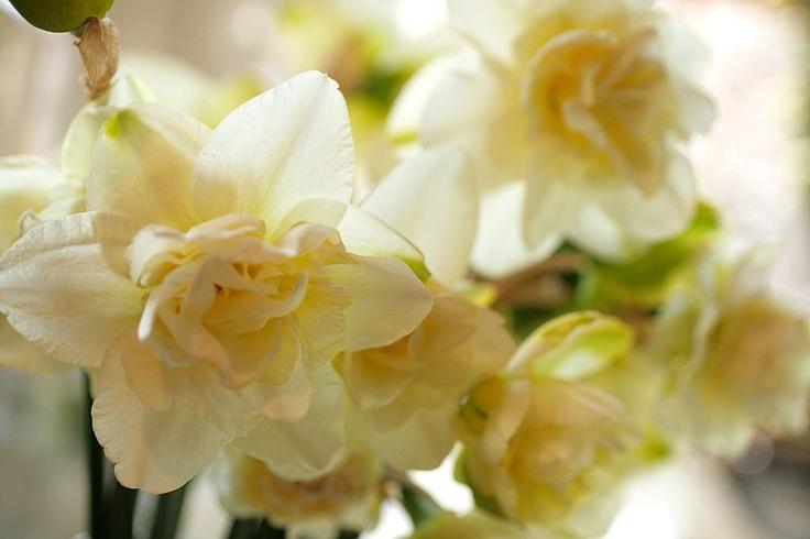double narcissus  www.lovenfreshflowers.com