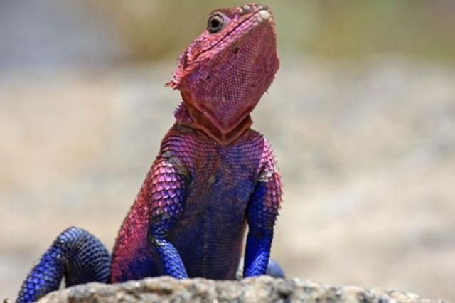 Agama mwanzae, the spiderman lizard.