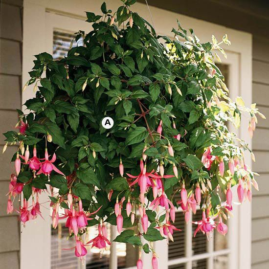 Create Elegance              With their gorgeous shape and graceful hanging blooms, it's no wonder fuchsias are favorites for cool, shady spots. They're unmatched for their elegance. Fuchsias offer a great bonus, too: Hummingbirds love them.                                          A. Fuchsia 'Diva Bridal Pink' -- 3