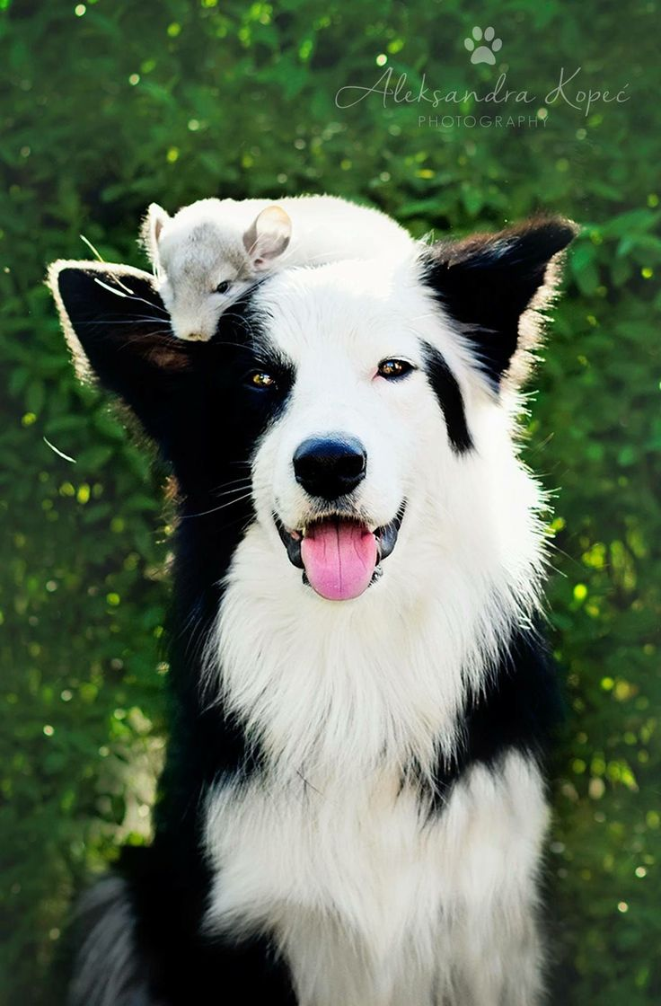 D B Farm Border Collies Best 25+ Border collie...