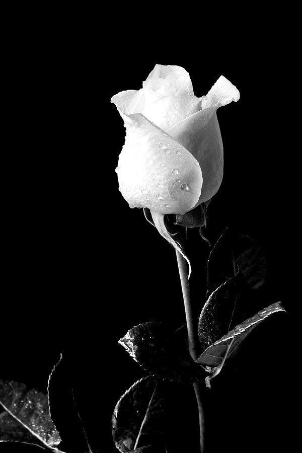Image Result For White Rose Black Background Roses Photographie