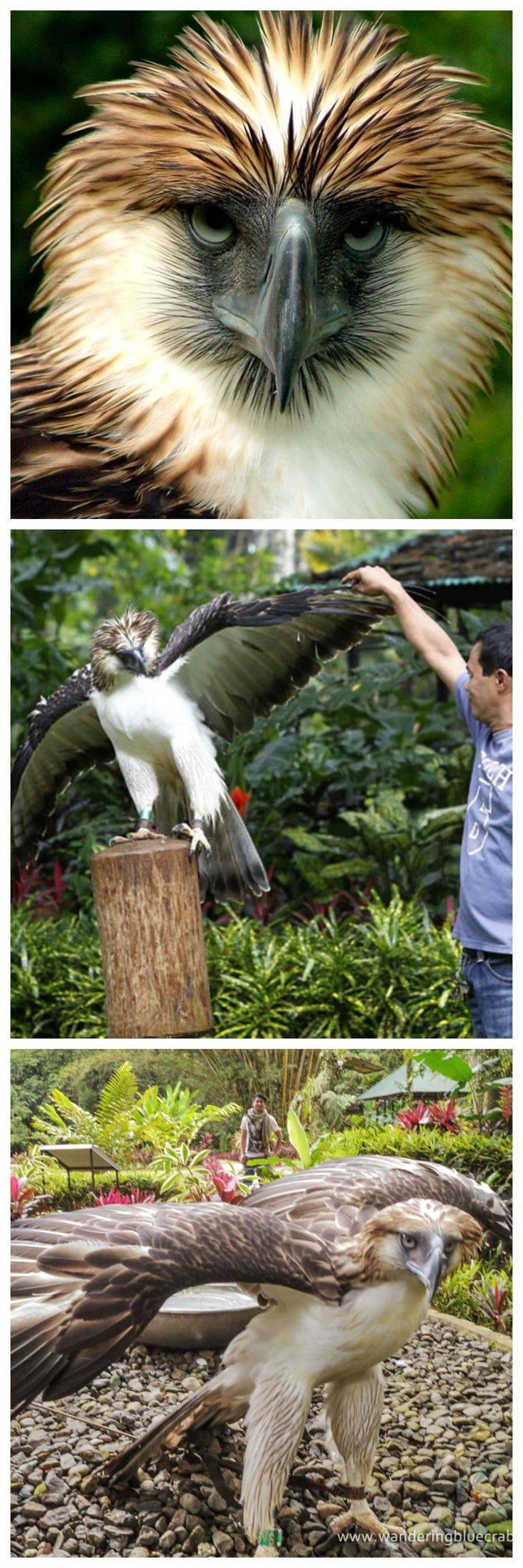 Philippine Eagle, aka monkey-eating eagle. That's one big, beautiful bird!