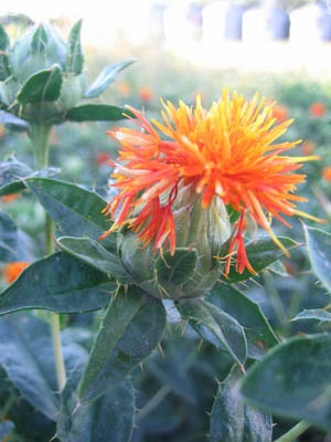 """SAFFLOWER is an annual with excellent ornamental qualities. By mid summer Safflower produces bulb type heads that are filled with down, from which the flower emerges. Use as a background for smaller flowers, or mix it up with the annual grasses. The stems are strong enough to stand in the snow and will add some interest for your """"winterscapes""""."""