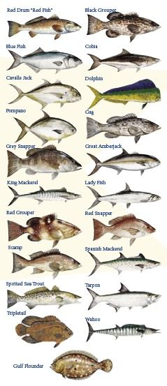 Florida and fish on pinterest for Types of fish in the gulf of mexico