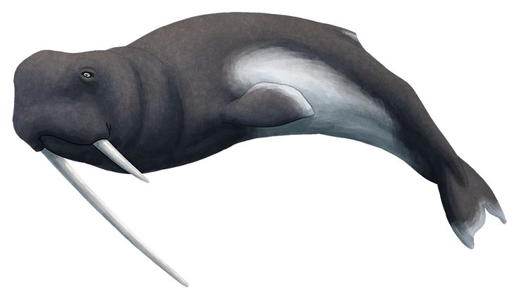 Whalevolution Month #28 – Odobenocetops Living off the coast of Peru and Chile, 5-3 million years ago, Odobenocetops is perhaps one of the strangest-looking fossils cetaceans ever discovered. Related to both the porpoises and the narwhal-beluga family, it was around 2.1m long (6′10″), and its long tusks and broad-snouted face gave it an appearance strikingly similar to the modern walrus. Much like the walrus, it was probably a bottom-feeder which sucked molluscs out of their shells with…