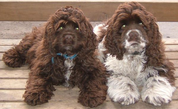 cockerdoodle | Two cocker spaniels have been treated for stab wounds after they were ...