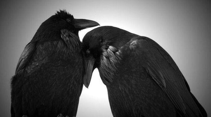10 Fascinating Facts About Ravens  http://www.whitewolfpack.com/2014/12/10-fascinating-facts-about-ravens.html