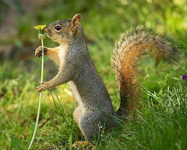 The eastern gray squirrel or grey squirrel (Sciurus carolinensis)