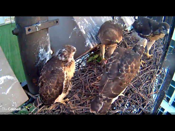 This generation of Cornell's Red Tail Hawks will be fledging soon! This screen shot from yesterday 30.05.16