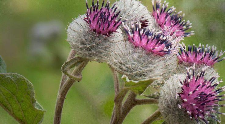 Η κολλιτσίδα ή αλλιώς αρκουδοβότανο (arctium lappa) είναι ένα διετές βότανο που προέρχεται από τη Βόρεια Ασία και την Ευρώπη.