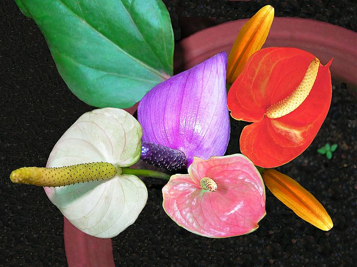 Colorful Anthurium (Photographic Print - Unframed))