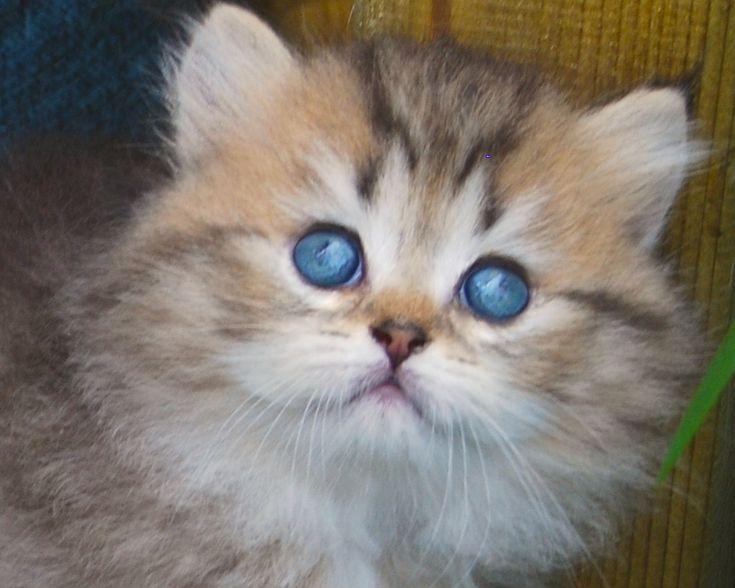 Belle Ayr Solar Sun Kiss British Longhair British Shorthair Cats