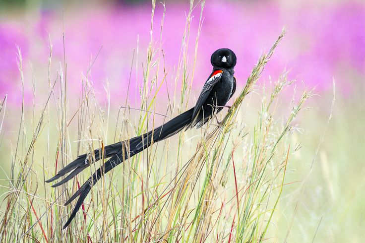 "The Long-tailed Widowbird (Euplectes progne), also known as the ""Sakabula,"" is a species of bird in the Ploceidae family.[2] The species are found in Angola, Botswana, the Democratic Republic of the Congo, Kenya, Lesotho, South Africa, Swaziland, Zambia, and southern Zaire."