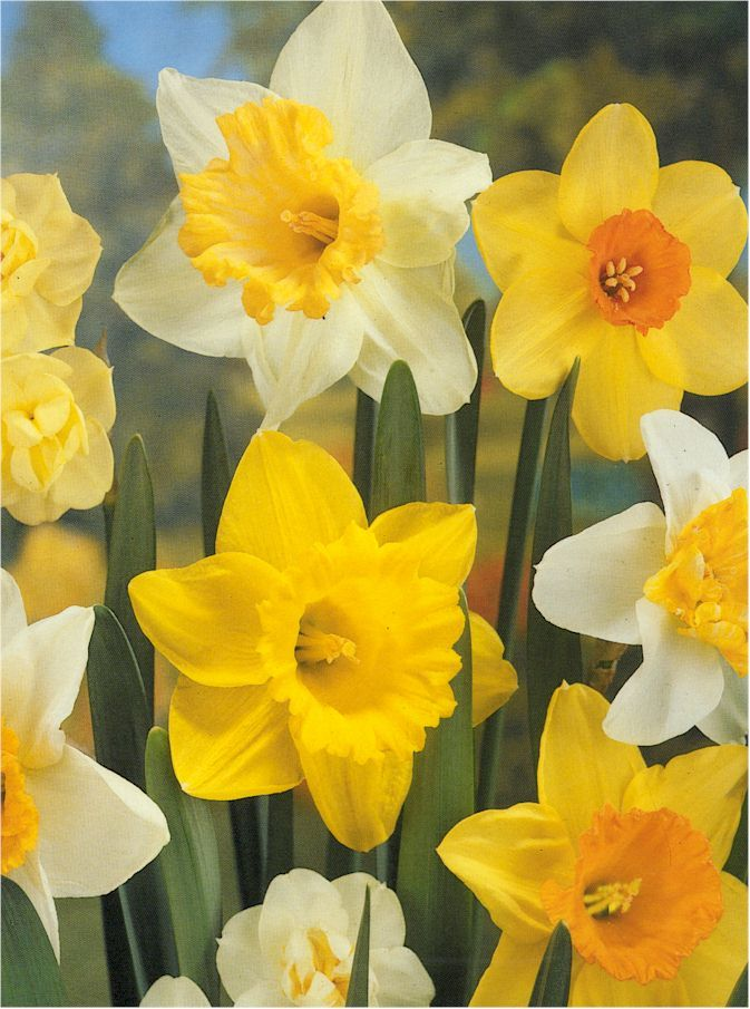 March is almost here, which means daffodils will be in bloom at the Sibley Horticultural Center!