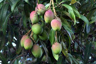 Rhum arrangé mangue.  Recette créole traditionnelle..