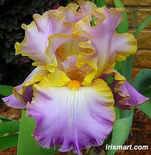 Tall Bearded Iris Flowers | Flower Power / 'All About Spring' Tall Bearded Iris.