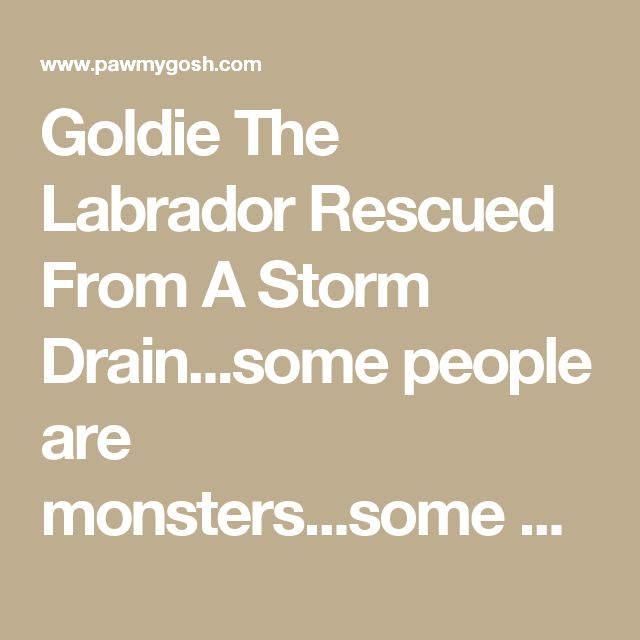 Goldie The Labrador Rescued From A Storm Drain...some people are monsters...some Angels