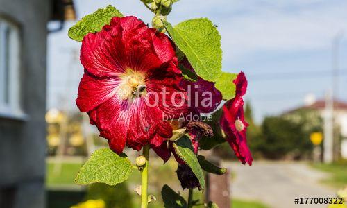 """Pobierz zdjęcie royalty free  """"Bee pollinating flower."""" autorstwa gubernat w najniższej cenie na Fotolia.com. Przeglądaj naszą bazę tanich obrazów online i odnajdź doskonałe zdjęcie stockowe do Twoich projektów reklamowych!"""