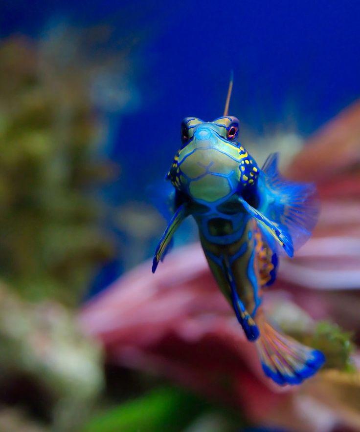 Synchiropus splendidus: Luc Viatour, Saltwater Aquarium, Sea Creatures, Saltwater Tank, Marines Life, Synchiropus Splendidus, Mandarinfish, Mandarin Fish, Mandarin Dragonet