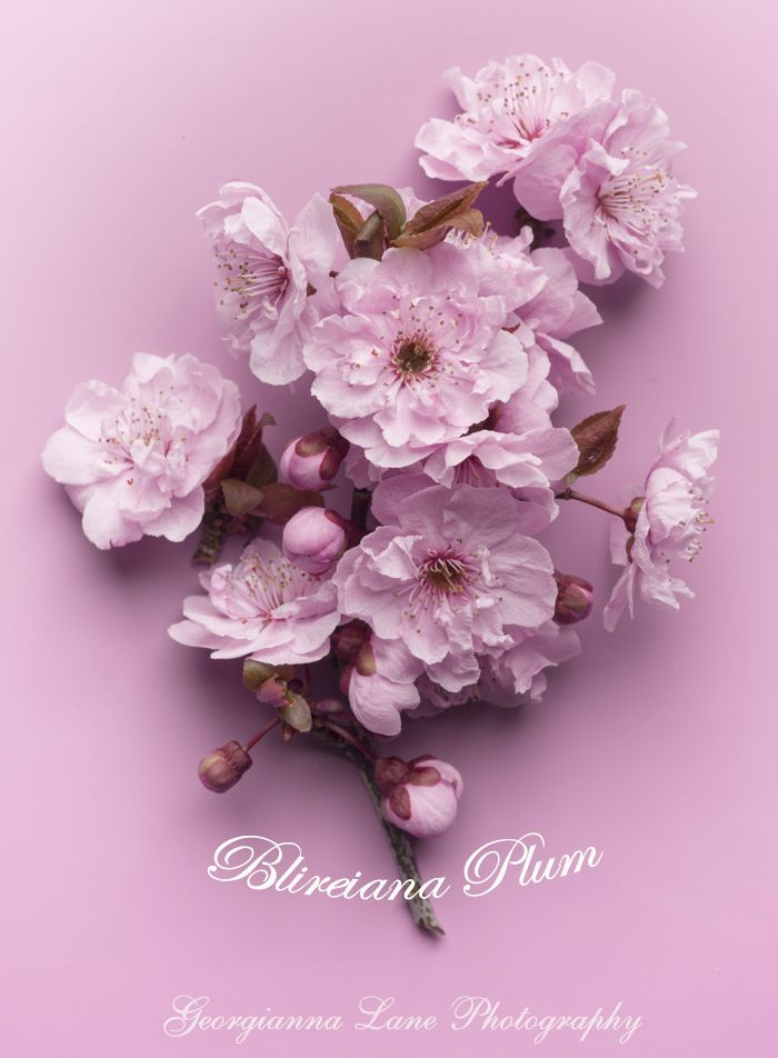Blireiana Plum Blossoms, styled and photographed by Georgianna Lane