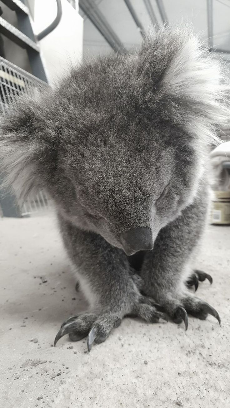 Submisisive KoAla??? No that's not possible they're too cocky
