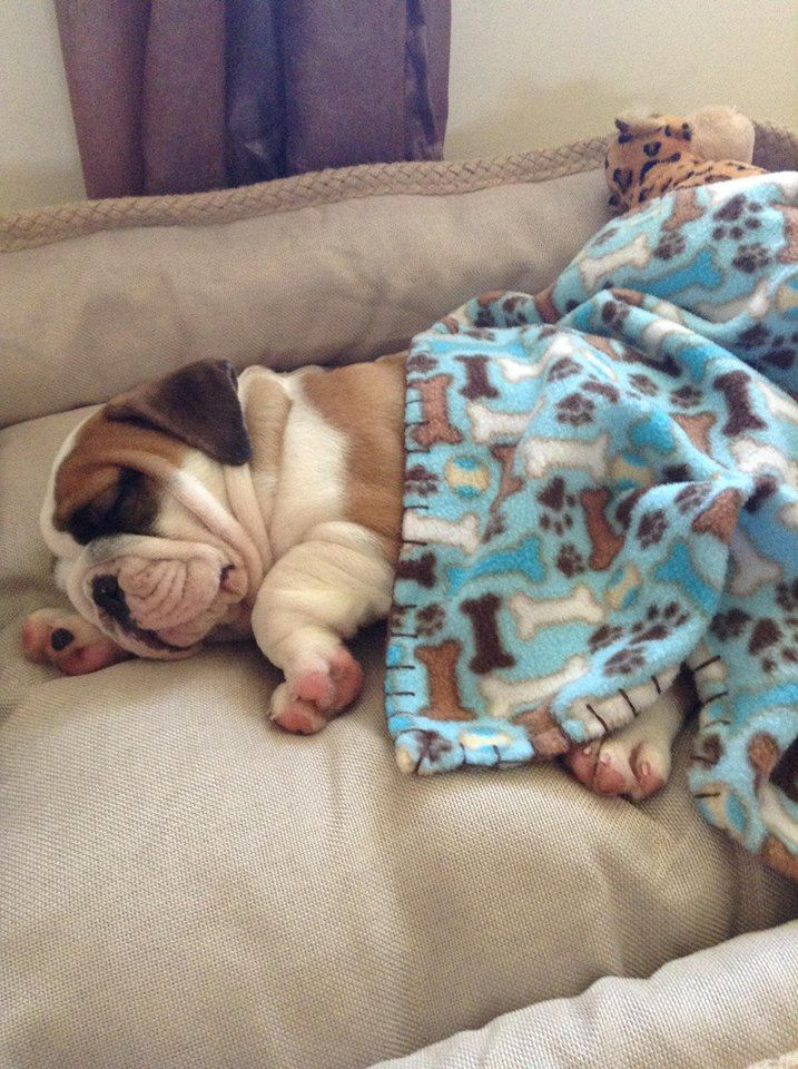 ❤ Murray ~ all tucked in for his first night in his new home ❤ Posted on Bulldog Pics