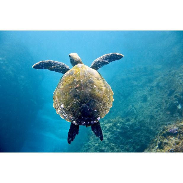 The Deep Blue Turtle - Sean Scott Photography