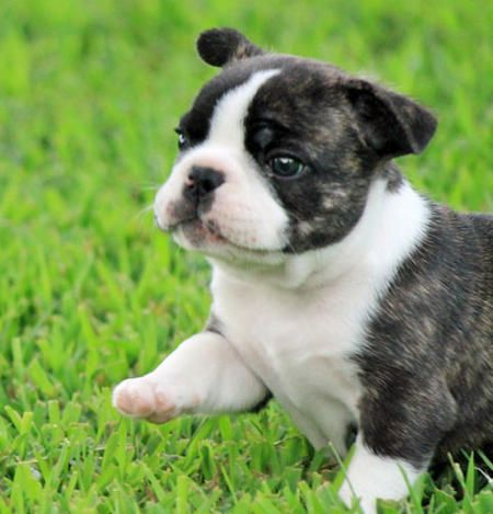 Best Australia Chubby Adorable Dog - dc614e187d0a70942de3e6e336d0751a--land-ho-french-bulldog-pictures  Collection_223295  .jpg