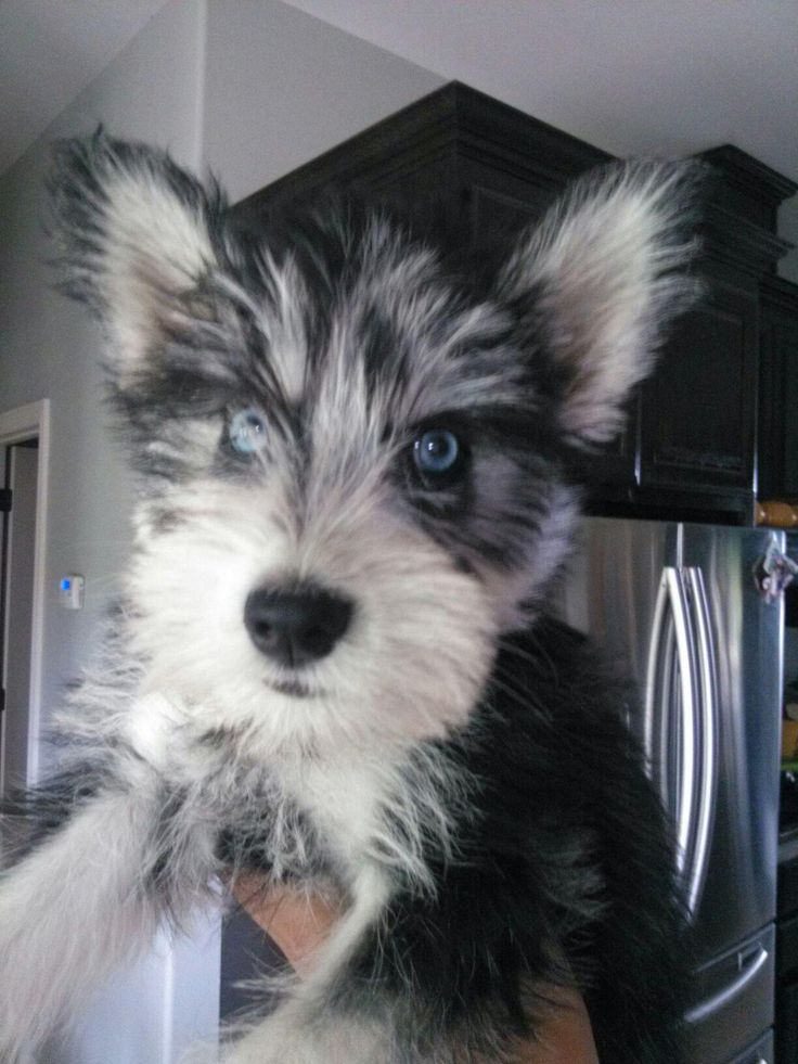 Husky and schnauzer mix, too cute for words to describe ...
