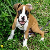 Stop boxer puppy biting