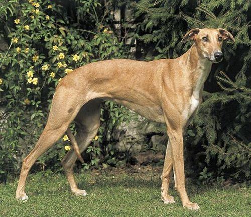 Magyar Agár / Hungarian greyhound