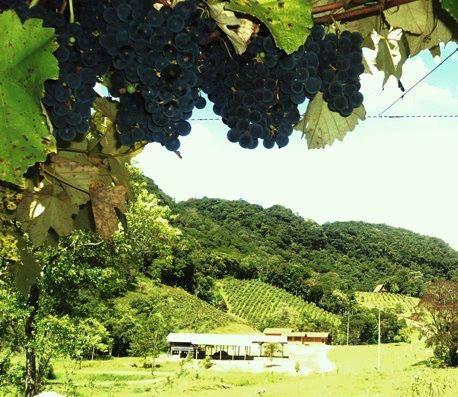 """#CURIOSIDADE: O fator principal, determinante do crescimento da uva, é o tipo de uva, a localização, as condições do clima, a topografia e as características e elementos do solo. Além desses, o processo de produção do vinho, que pode variar muito, assim como a safra, a qual é a grande incógnita a definir o tamanho da uva e a qualidade da mesma e, por último, o produtor, que é o """"coringa"""" do jogo, são os fatores determinantes para o vinho produzido ou a ser produzido."""