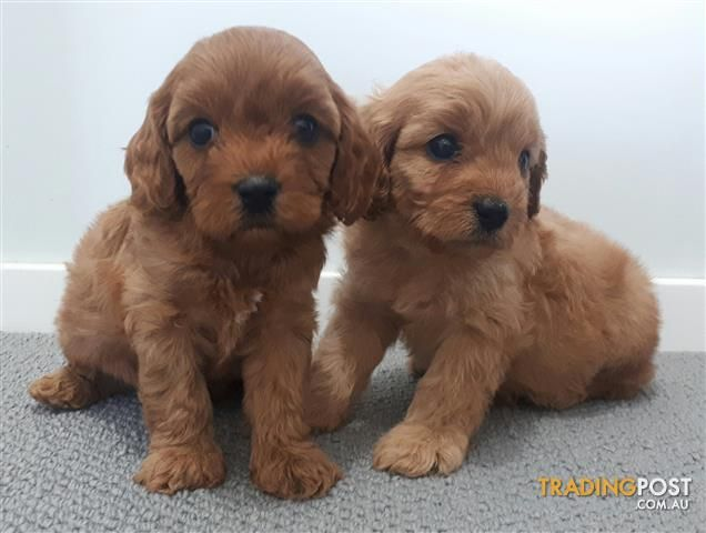 Cavoodle Puppy Cavalier King Charles Spaniel X Toy Poodle For