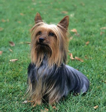 yorkshire terrier dog breeds silky terrier dog breed dogs dogs dogs even more 4855