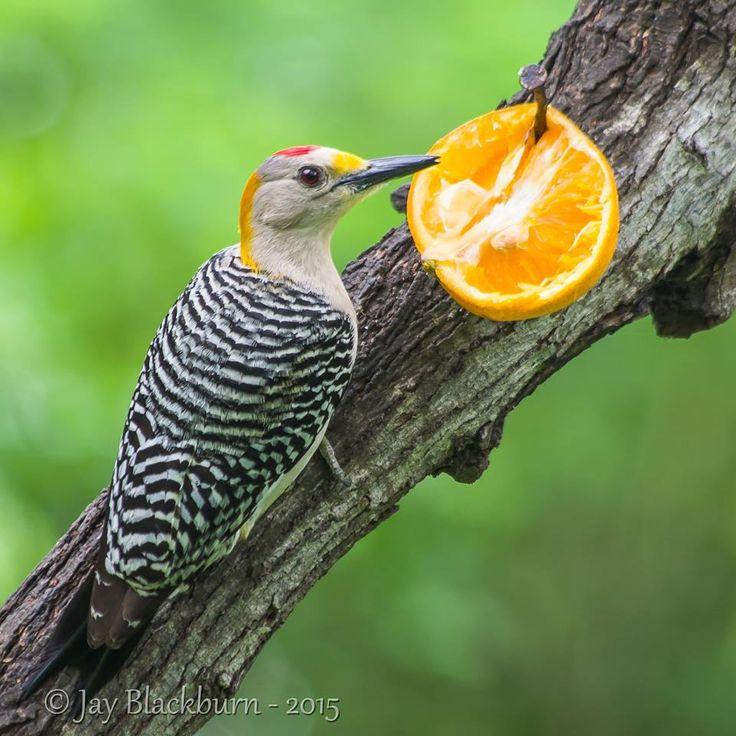 Golden Fronted Woodpecker (Melanerpes aurifrons