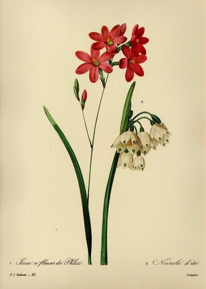 561 best botanical flower gallery wall images on pinterest vintage ixia print botanical red white flower gallery wall redoute art pjr 2004 mightylinksfo