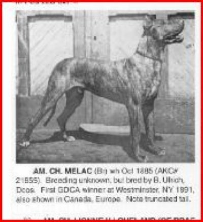 "American Champion ""Melac"" (brindle with white on chest and toes). owned by Herbert C. Nichols of Chicago. Winner of Westminster Show of 1891 or 1892 (accounts differ). photo caption suggests that his tail had been cut short, but it's morelikely to be the result of a blunt, calloused tip - the kind that kept Marko vd Kreuzschanze 44107 from being shown.: To, Cut Shorts, Danes Danes, Dog"
