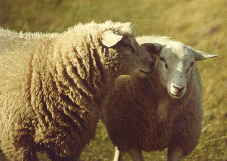 http://owczyswiat.pl/owce/ Owce są  znanymi  bydlętami hodowlanymi . Owce występują  w egzotycznych   ziemiach. Dzięki nim można  dostać  rozliczne  surowce . Do zysków z  pasania  owiec należą   artykuły  tekstylne i  spożywcze . Owce są  dlatego  wielce   przydatnymi   stworzeniami ,  wspomagając przemysł   tekstylną  i  żywnościową . Na świecie   dużo  owiec wypasa  się w w rejonach śródziemnomorskich, takich jak Hiszpania, Portugalia Włochy i Grecja,  a  oraz w Anglii. #owce