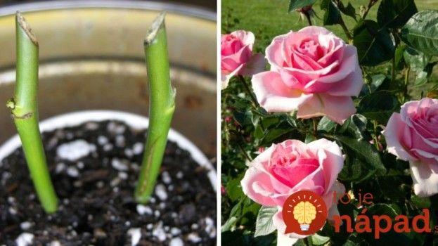Najjednoduchší spôsob ako rozmnožiť ruže z odrezkov!