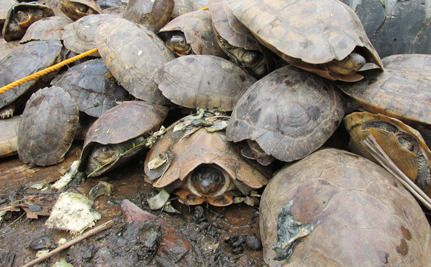 3800 Turtles (An Entire Species?) Rescued From Shipping Crate - Turtle experts used to believe there were fewer than 3,000 Philippine Forest Turtles left in the world.  So imagine their surprise and horror when on June 18 they stumbled across 3,800 of these turtles stacked on top of each other in a cement tank in a Chinese-owned warehouse in the Philippines.  Were thieves trying to steal an entire species of turtles?