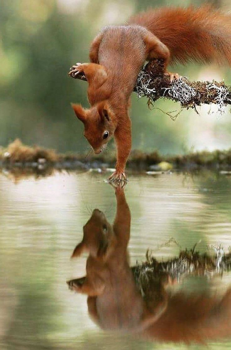 les petits    little animals l´écureuil the squirrel  reflet reflection nature environnement