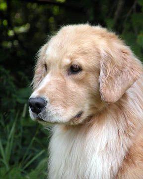 Pin By Alexa Grey On Dogs Lover Golden Retriever Dogs Retriever