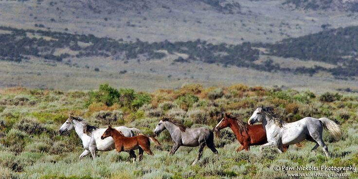 American Wild Horse Preservation Campaign #BLMKillsHorses #LoveWildHorses #SaveWildHorses