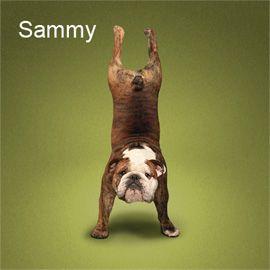 yoga dogs: Yoga Dogs, Happy Yoga, Funny Dogs, English Bulldogs, Yoga Pictures, Cute Dogs, Animal Yoga