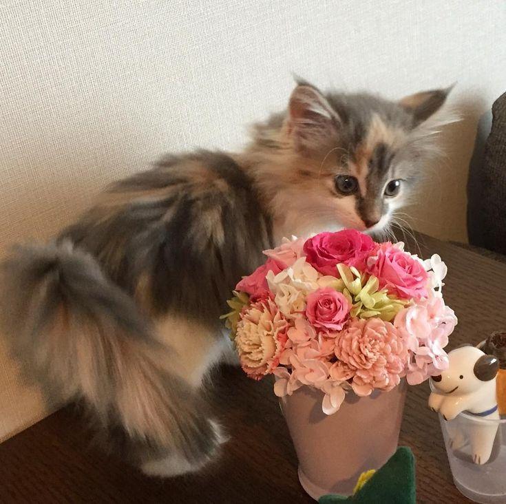 本日にゃんにゃんにゃーんの日 特に意味はないですがちびぐり時代の写真です  #サイベリアン #サイベリアンフォレストキャット #子猫 #猫アレルギーの猫飼い #猫好きさんと繋がりたい#猫のいる暮らし #猫のいる生活 #ニャンスタグラム #ダイリュートキャリコ #siberian #siberiancat #siberianforestcat #kitty #kitten