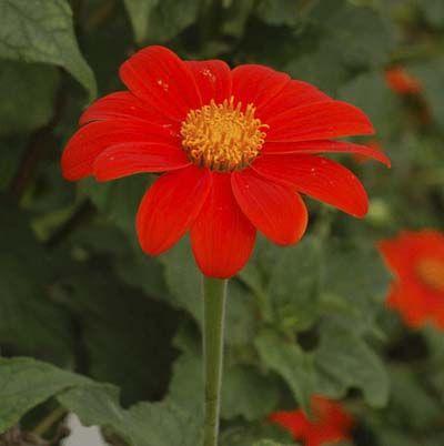 anaranjado brillante margarita-como la flor del girasol mexicano llamado