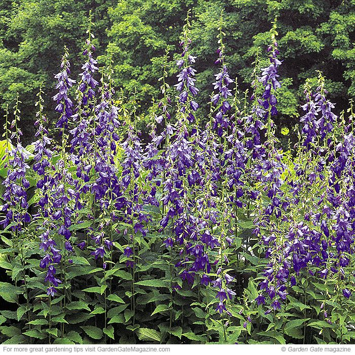 23 best veronica images on pinterest landscaping ideas for Low maintenance perennials zone 4