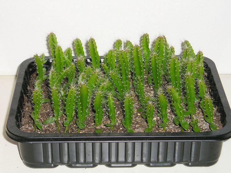 die besten 25 drachenfrucht pflanze ideen auf pinterest drachenfrucht kaktus drachen. Black Bedroom Furniture Sets. Home Design Ideas