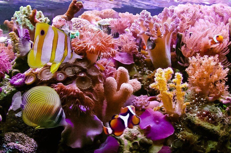Hawaii coral reef under the sea pinterest more coral for Hawaii reef fish